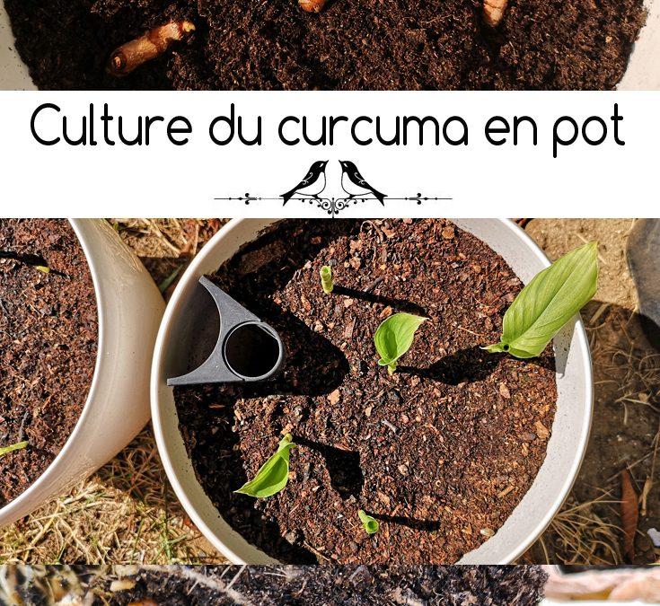 Curcuma longa : culture, propriétés, bienfaits