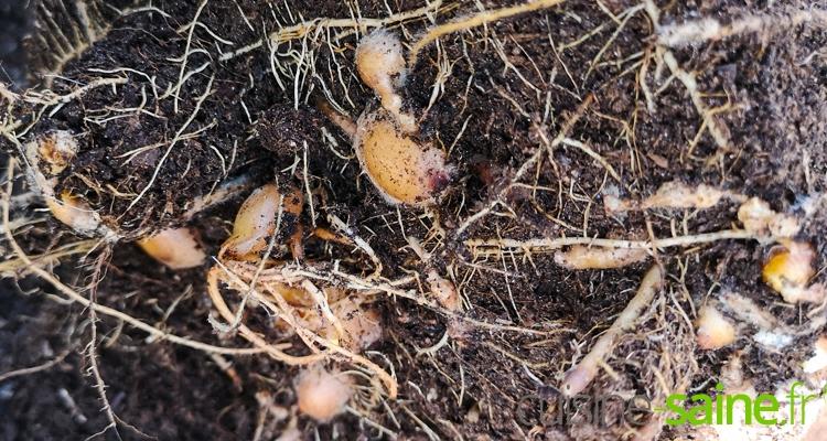 rhizomes de curcuma globuleux