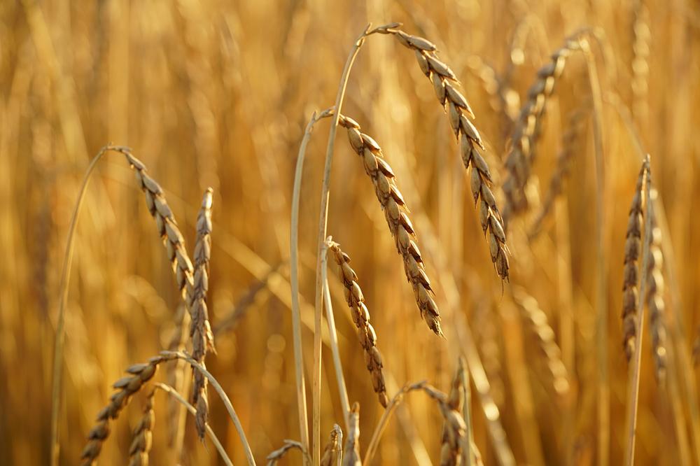 L'épeautre aussi appelé blé des gaulois ou grand épeautre